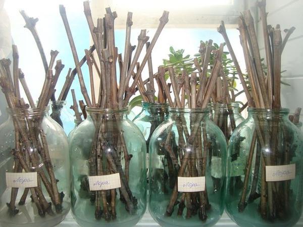 Выращивание из черенков
