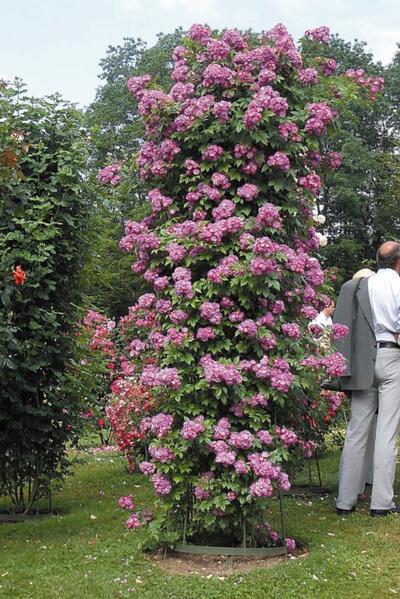 Роза плетистая обыкновенная