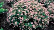 Виды и сорта кустарников спиреи