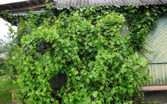 Куст амурского винограда