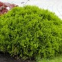 Лучшие быстрорастущие растения для многолетней живой изгороди