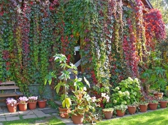 Плетущийся девичий виноград