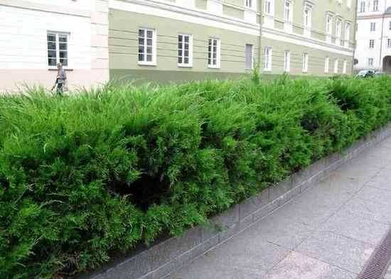 Можжевельник в качестве растения для живой изгороди