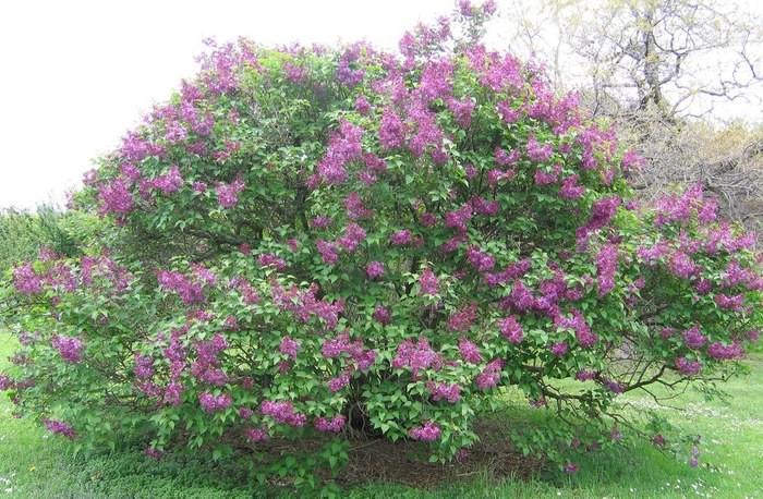 Сирень в период цветения