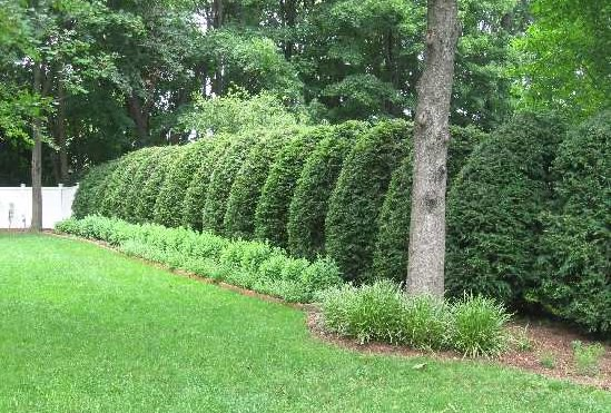 Живой забор из хвойного растения туи