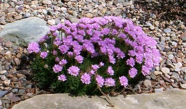 Армерия альпийская в цветущем состоянии