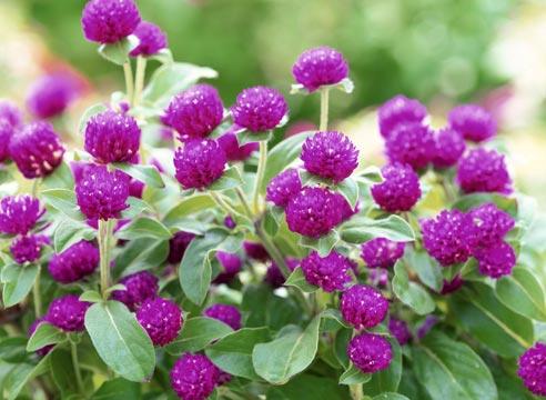 Гомфрена в период цветения