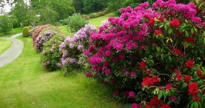 Рододендрон в период цветения