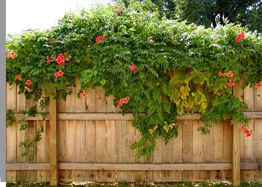 Вьющиеся растения на заборе из дерева
