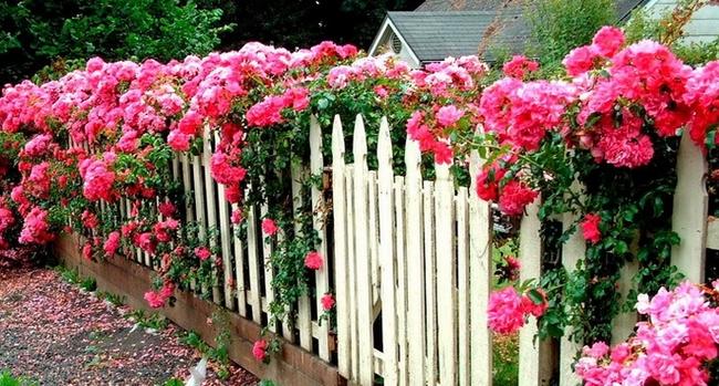 Плетистые розы на заборе