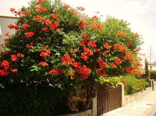 Кампсис в период цветения