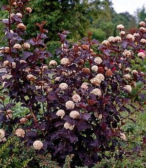 Пузыреплодник с красными листьями: сорта и особенности