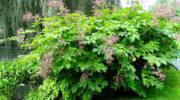 Правила выращивания, посадки, ухода за Аралией маньчжурской. Живые изгороди.