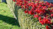 Как сделать айву японскую изюминкой сада. Применение в качестве живой изгороди.