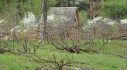 Уход за стланцевыми растениями в условиях Сибирского климата
